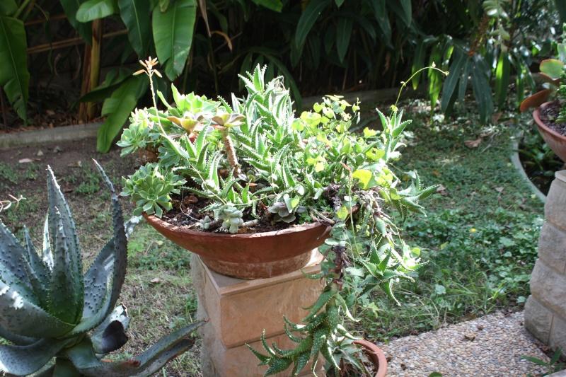 Aloe squarrosa Aloe_s10