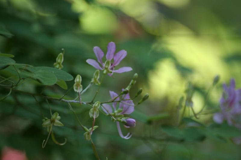 Bauhinia yunnanensis - Page 2 Bauhin10