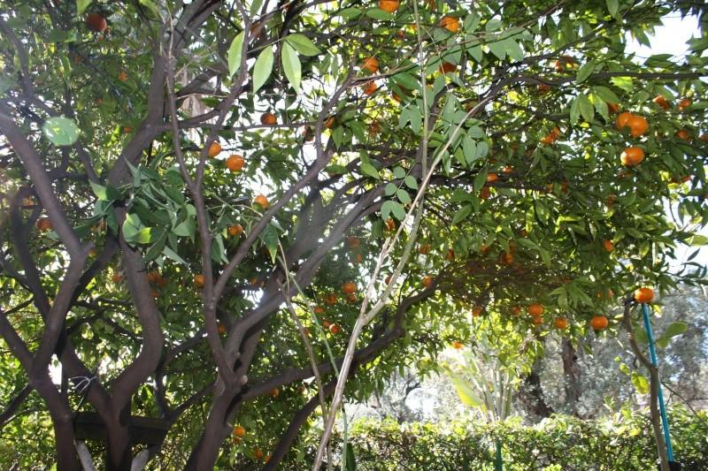 Agrumes du moment, en ce début mars Citrus10