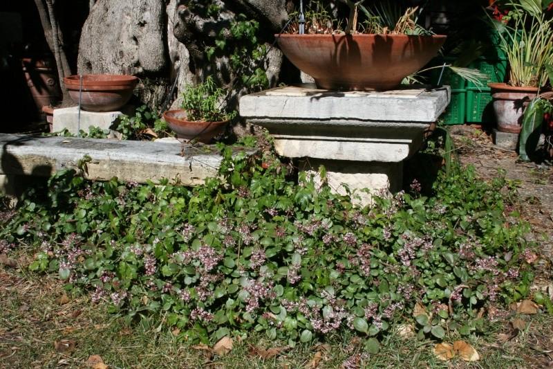 Crassulacées en fleurs Crassu10