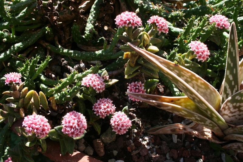 Crassulacées en fleurs Crassu12