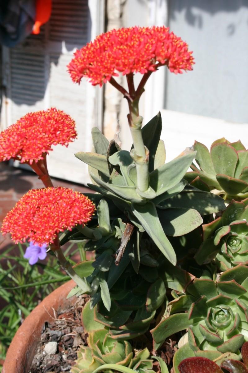 Crassulacées en fleurs Crassu13