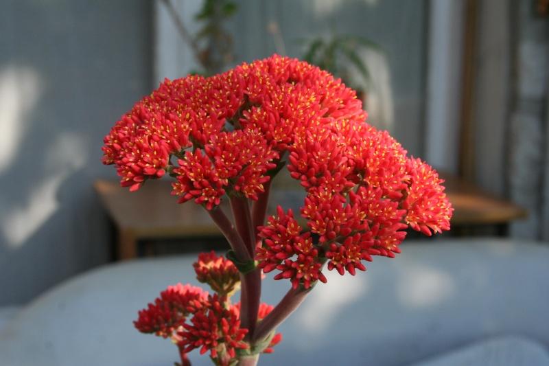Crassulacées en fleurs Crassu14