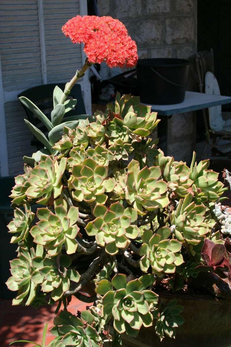 Crassulacées en fleurs Crassu15
