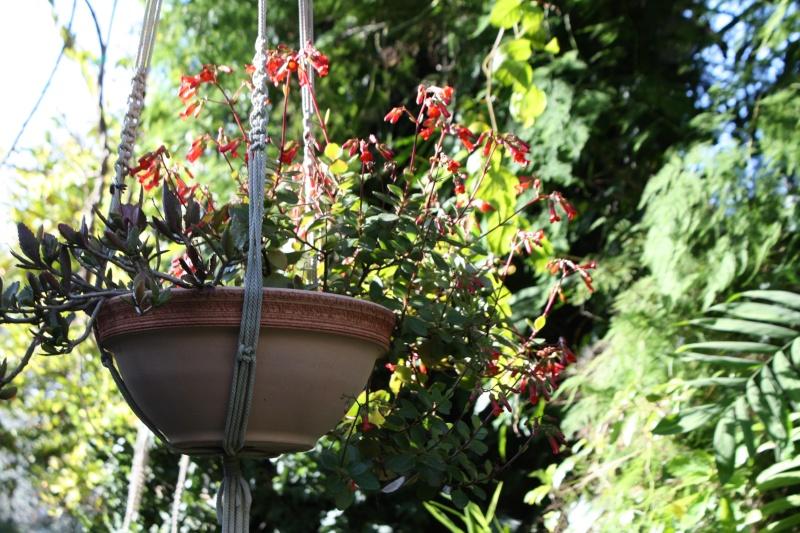 Bryophyllum 'Tessa' (= Kalanchoe 'Tessa') Kalanc10