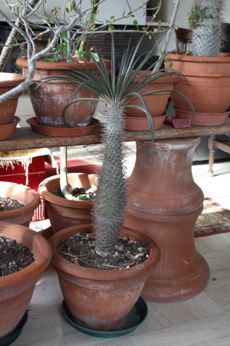 Pachypodium geayi Pachyp10
