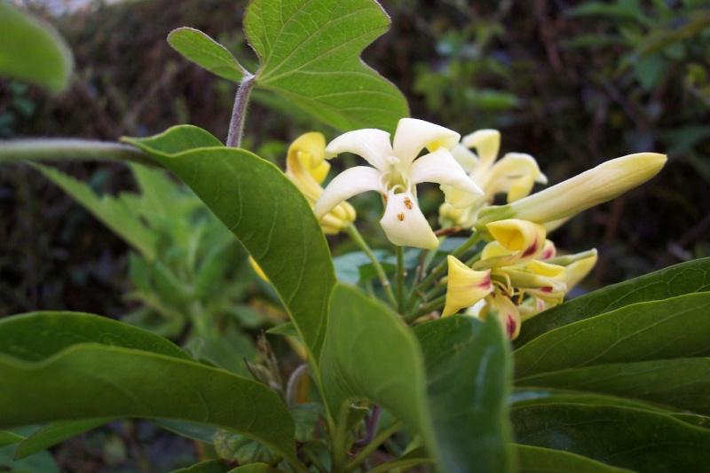 Hymenosporum flavum - frangipanier australien Pittos10