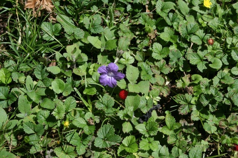Ruellia tuberosa Ruelli14