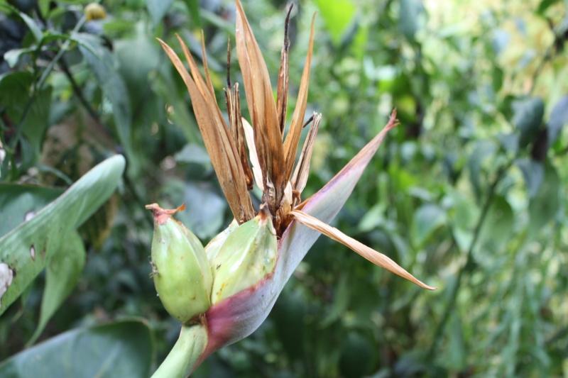 Strelitzia reginae 2016 Streli11