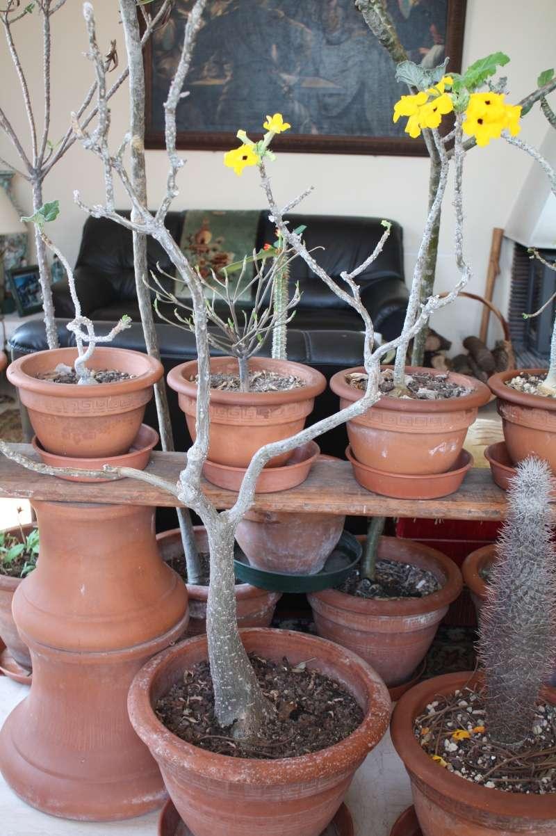 Pachypodium geayi Uncari10
