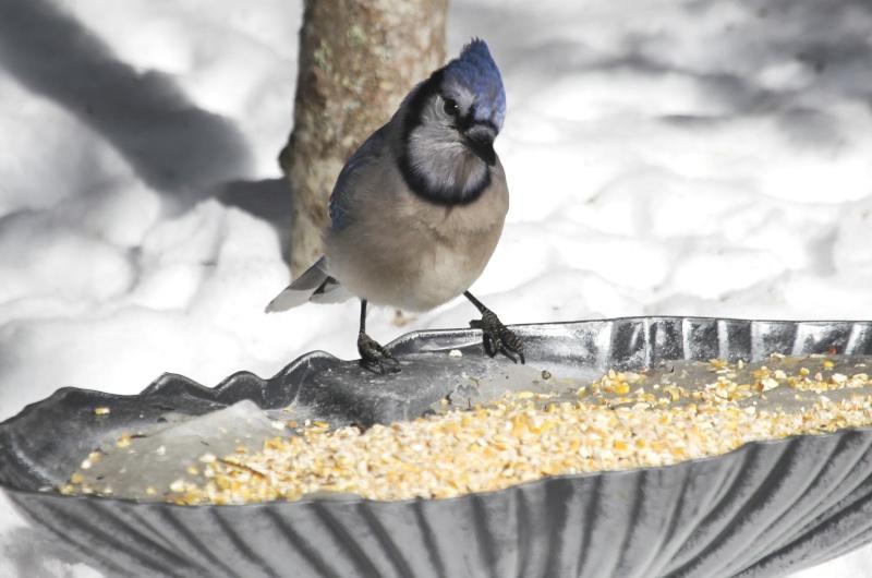 Geai Bleu aime le maïs  Img_0411