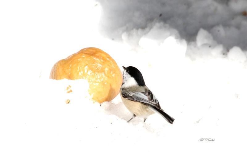 La Mésange et la pomme. Img_9815