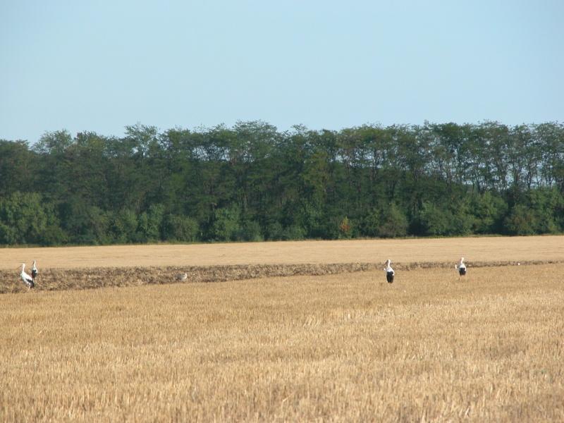 Cigognes en Bulgarie Dscn0218