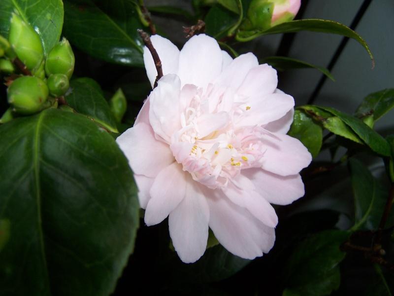 Camellia , saison 2015 - 2016 - Page 3 100_8911