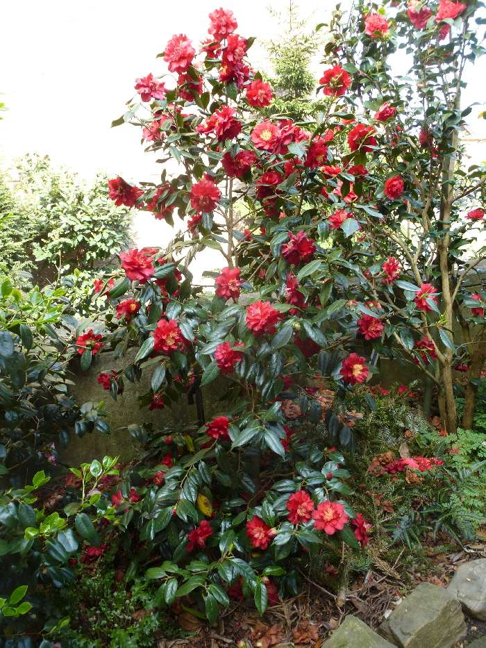 Camellia , saison 2015 - 2016 - Page 2 Fruehl11