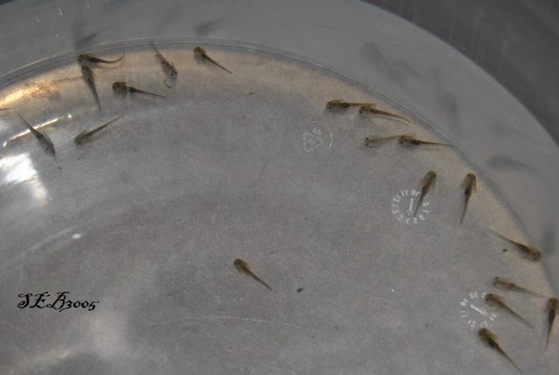 Repro Axolotl Dsc_0010