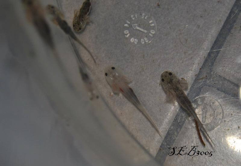 Repro Axolotl Dsc_0016