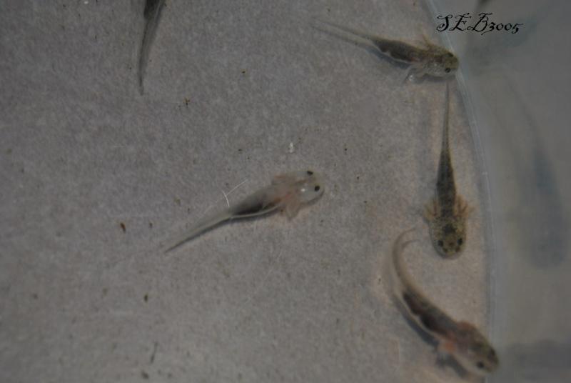 Repro Axolotl Dsc_0017