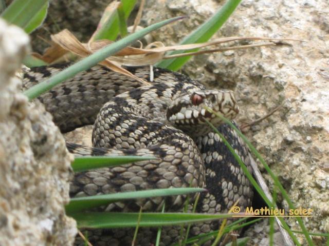 Herping du 5 Avril 2009 - vipères Aspic et péliades ... Img_1322
