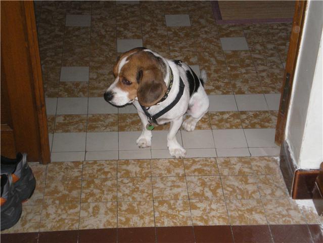 Croisé beagle mâle, 3 ans (81) Getatt15