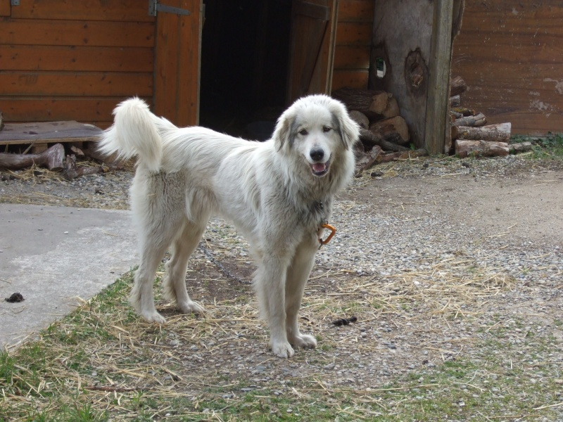 Cède contre bons soins chienne montagne des pyrénées Dscf8711