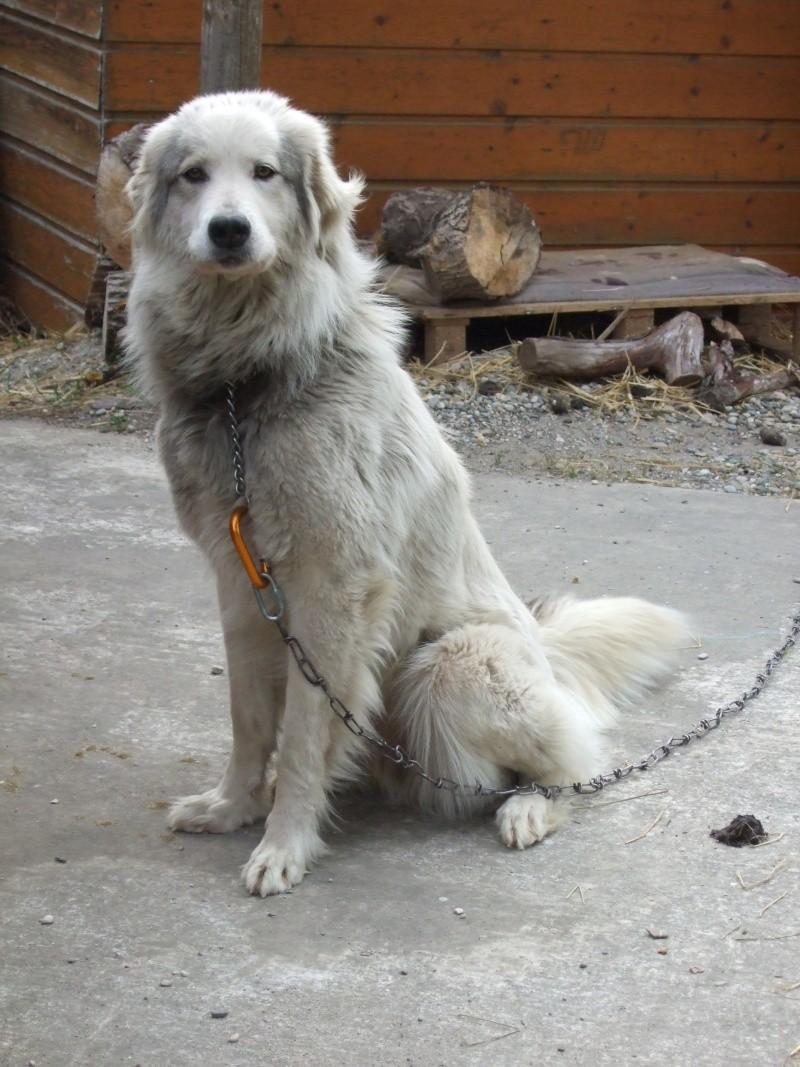 Cède contre bons soins chienne montagne des pyrénées Dscf8712