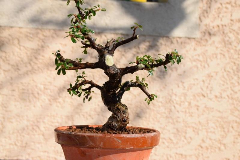 cotoneaster Dsc_1444