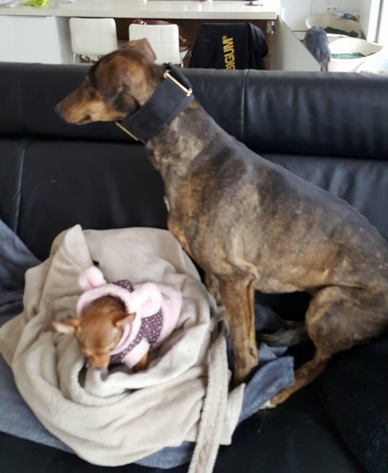 CHATITA, galga brun foncé, 2 ans 1/2  Adoptée Chatit11
