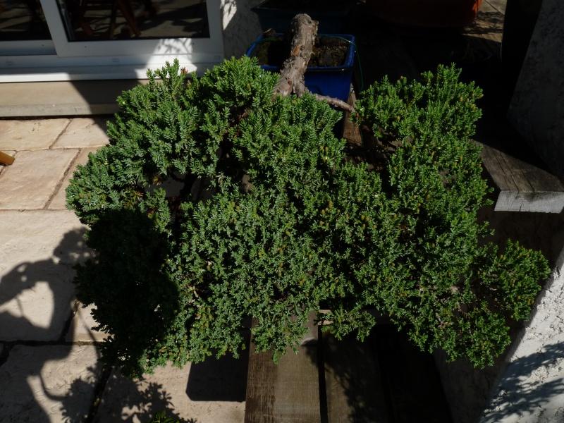 juniperus Procubens nana P1000610
