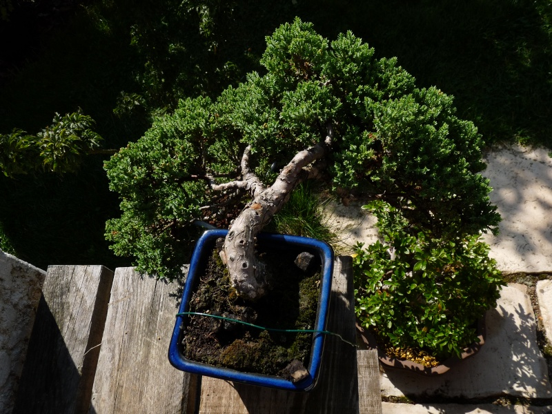 juniperus Procubens nana P1000611