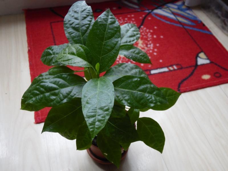 semis de Passiflora edulis Sam_0513