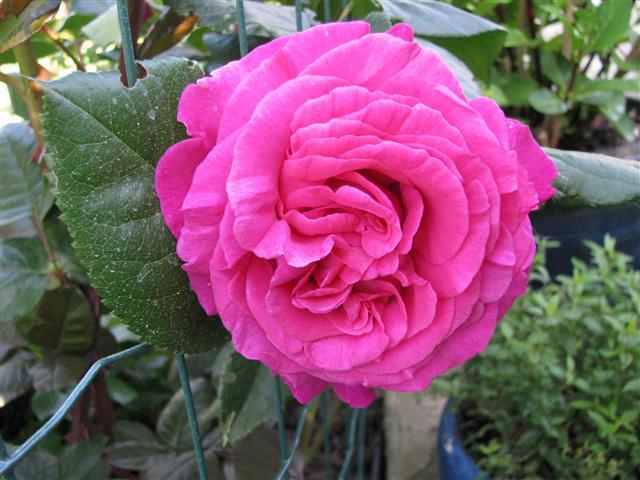 Chartreuse de Parme (Delbard 1996), rose foncé très parfumée Img_3510
