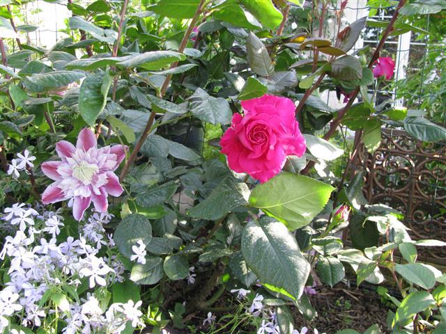 Chartreuse de Parme (Delbard 1996), rose foncé très parfumée Img_3511