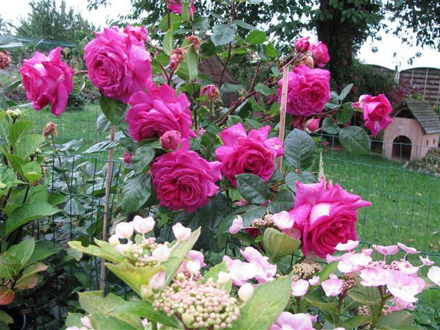 Chartreuse de Parme (Delbard 1996), rose foncé très parfumée Img_3710