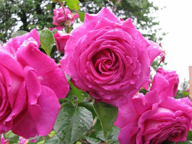 Chartreuse de Parme (Delbard 1996), rose foncé très parfumée Img_3711