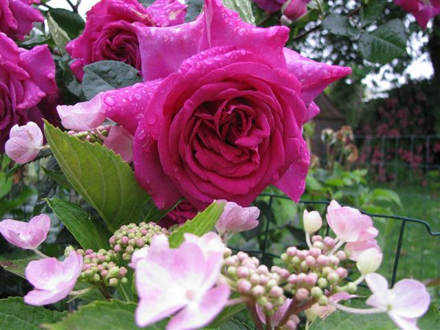 Chartreuse de Parme (Delbard 1996), rose foncé très parfumée Img_3712