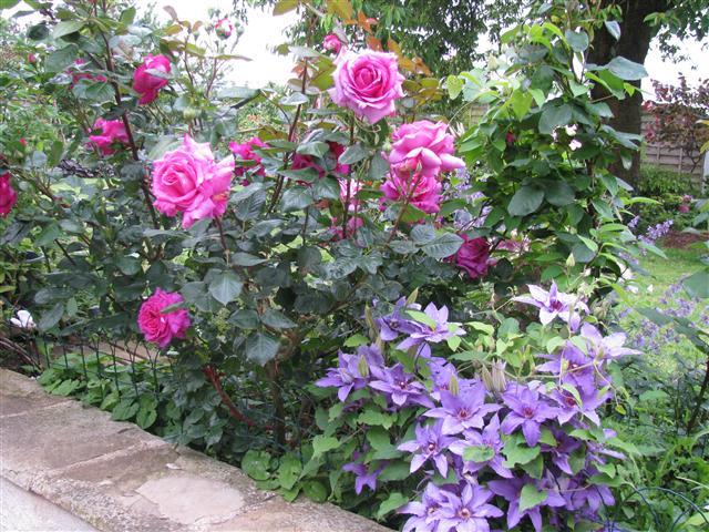 Chartreuse de Parme (Delbard 1996), rose foncé très parfumée Img_4910