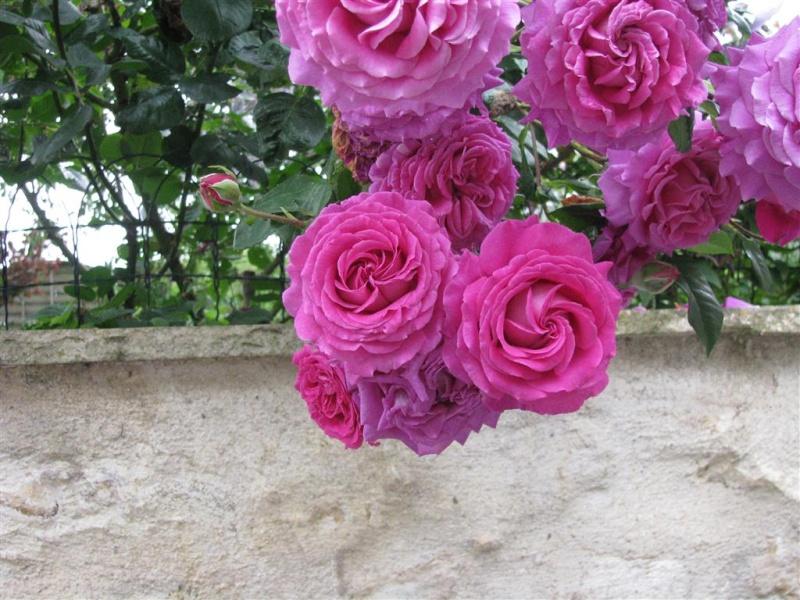 Chartreuse de Parme (Delbard 1996), rose foncé très parfumée Img_5010