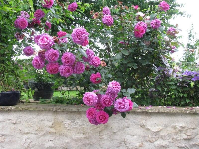 Chartreuse de Parme (Delbard 1996), rose foncé très parfumée Img_5011