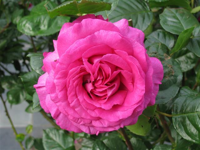Chartreuse de Parme (Delbard 1996), rose foncé très parfumée Img_5210