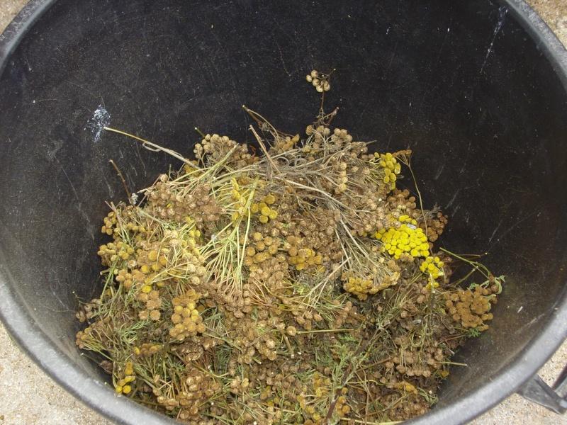 Ma façon de récolter les graines de tanaisie© Img_0094