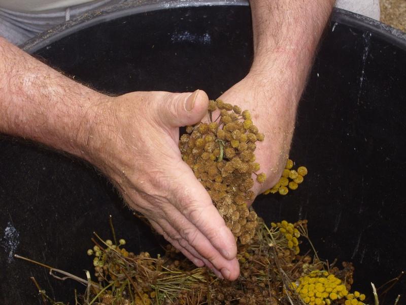 Ma façon de récolter les graines de tanaisie© Img_0096