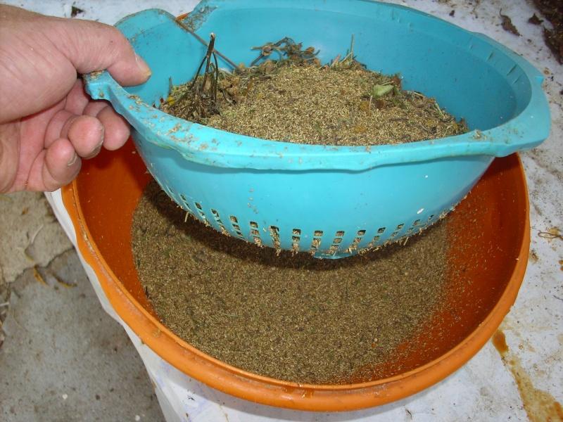 Ma façon de récolter les graines de tanaisie© Img_0098