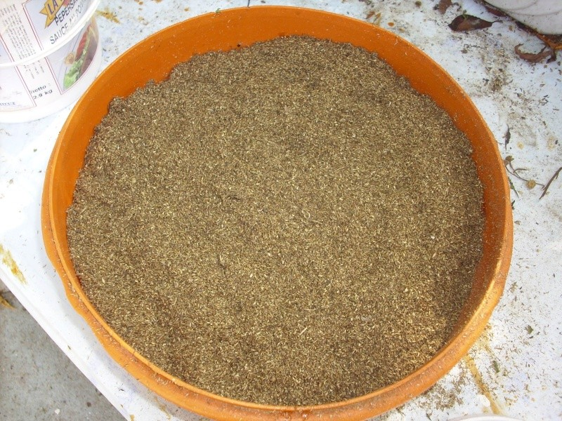Ma façon de récolter les graines de tanaisie© Img_0099