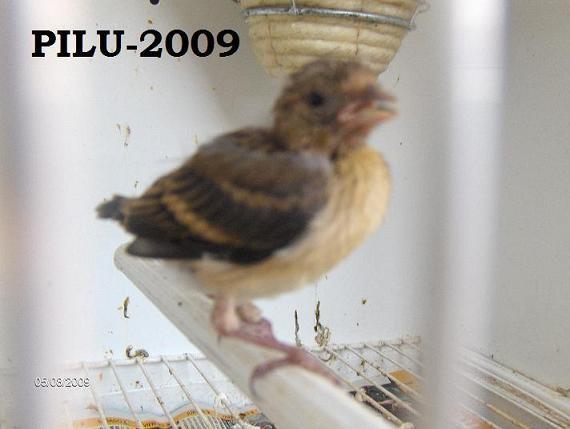 video de jilguero y canaria Hpim3114