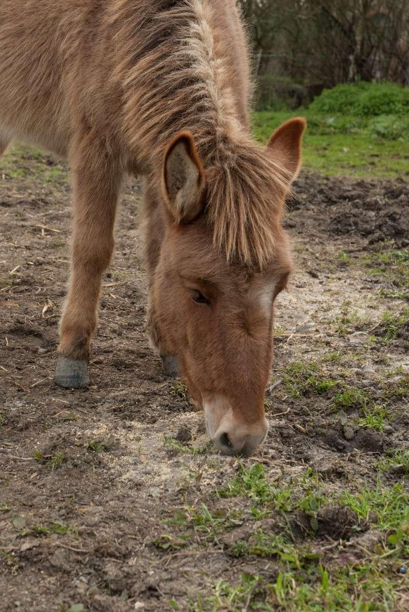 DIABLOTINE - ONC Mule née en 2014 - adoptée en juin 2016 par Amélie Dsc_0028