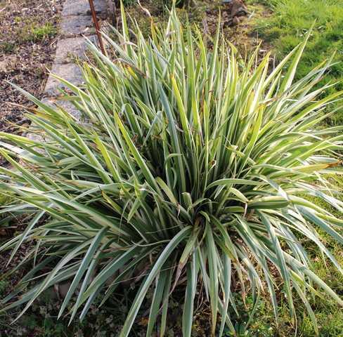 Iris japonica 'variegata' 17032018