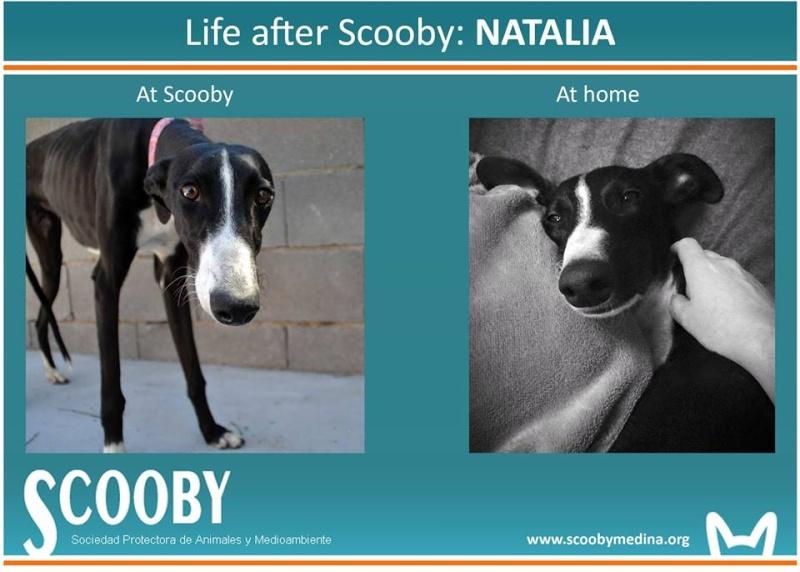 Natalia, galga noire et blanche, qui na pas 1 an  Scooby France Adoptée  - Page 4 12670410