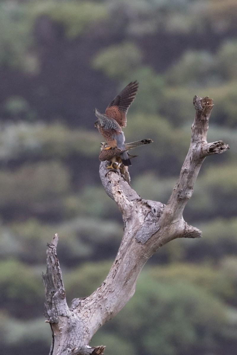 Oiseaux de Ténérife (maj février 2017) Faucon10