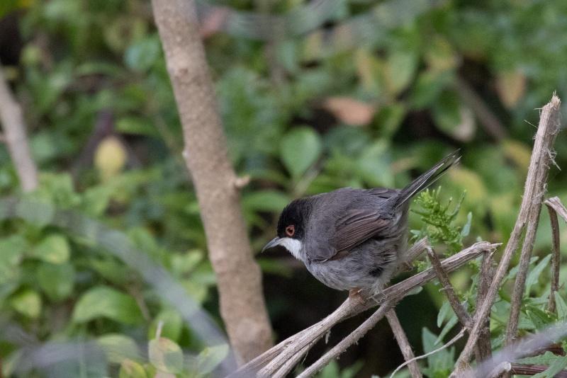Oiseaux de Ténérife (maj février 2017) Fauvet10